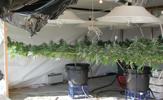 Cannabis plants trained to grow larger yields
