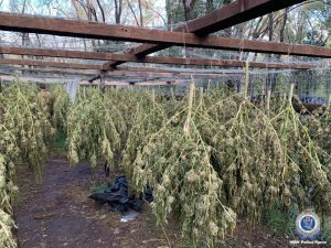 Cannabis drying out in NSW