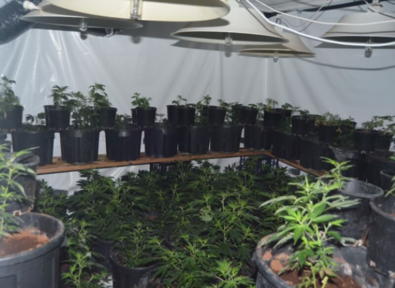 Cannabis plant crowded together in inhumane conditions
