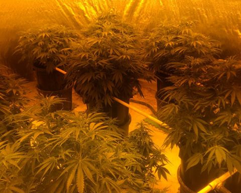 Illegal cannabis grow house in Canberra