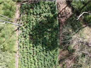 Aerial view of cannabis crop in Australia