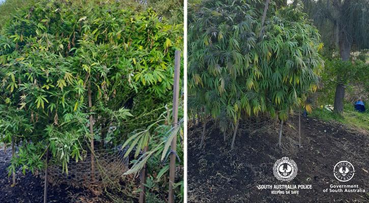 Bushy cannabis plants growing in South Australia