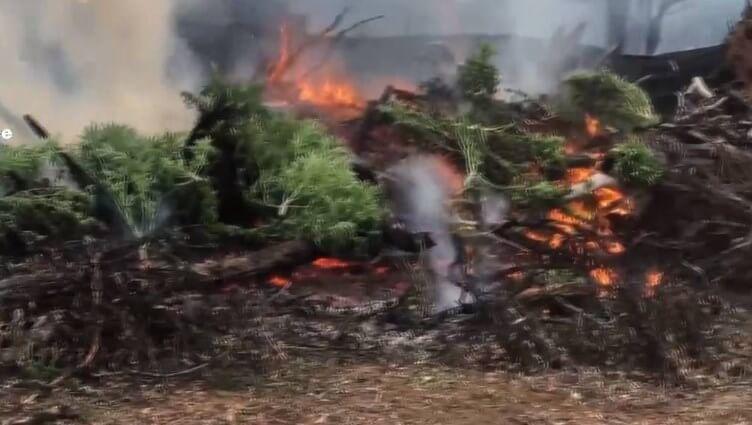 Cannabis being burned in Australian bush