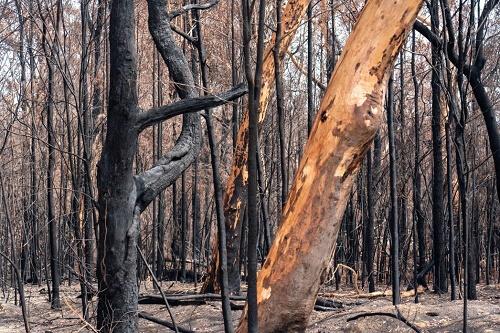 Australian forest devasted by a bushfire