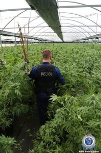 Australian police officer assessing illegal cannabis grow operation