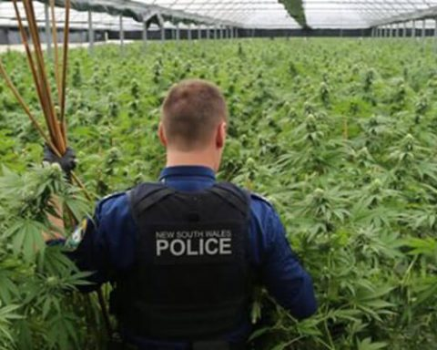 Australian police officer lost in a field of cannabis