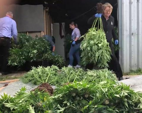 Australian police remove cannabis from illegal grow house
