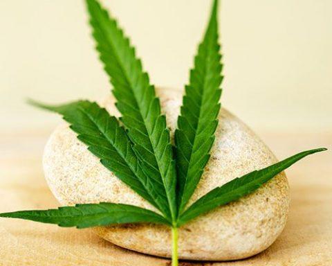 Cannabis leaf resting on a rock