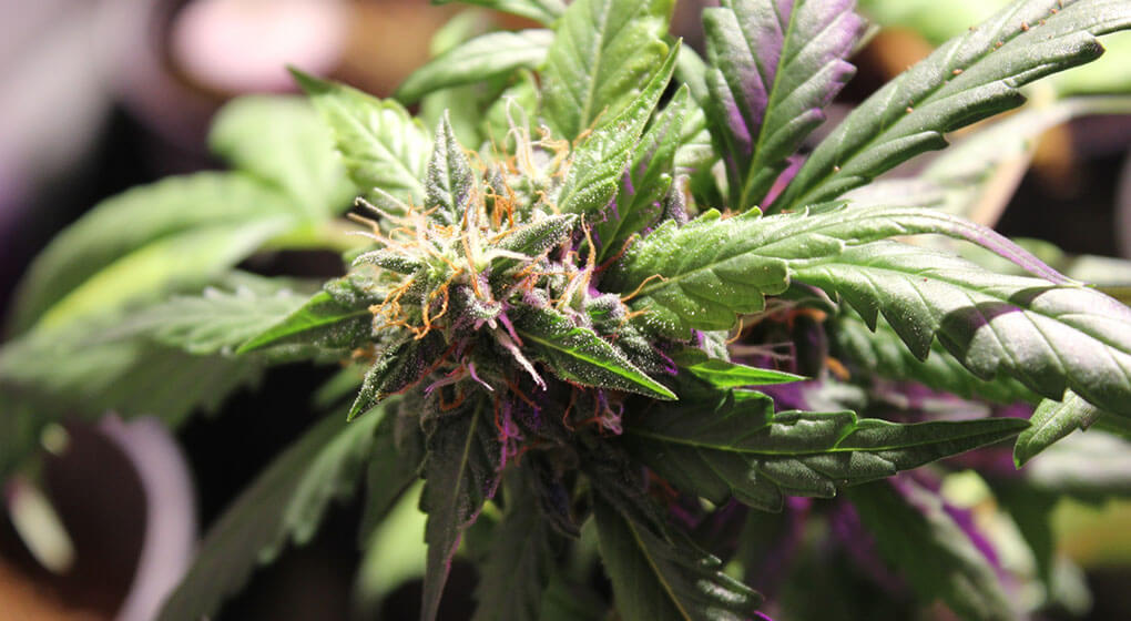 Cannabis with a high THC level