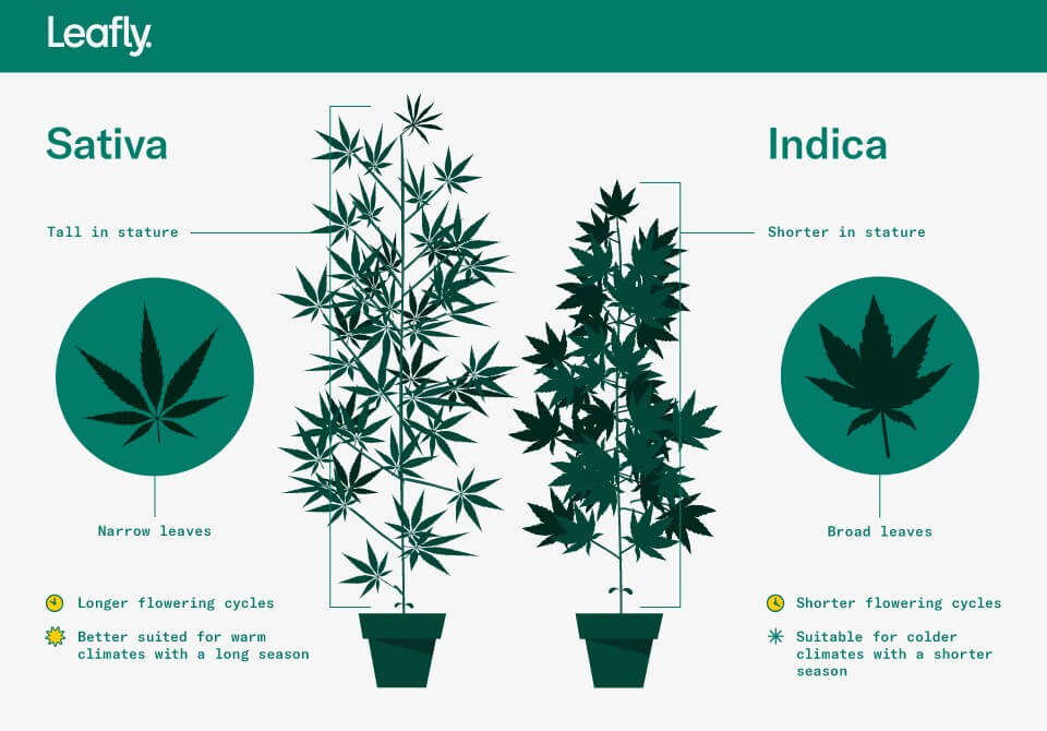 Difference between Sativa and Indica cannabis strains