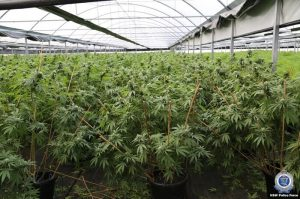 Indoor cannabis fields containing thousands of plants