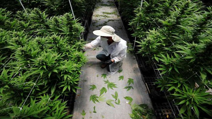 An employee tending to cannabis in an Israel facility