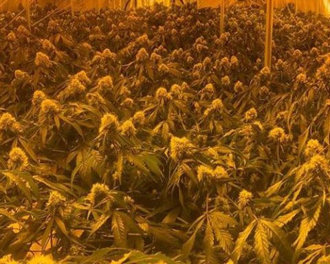 Cannabis found in one of the raided grow houses