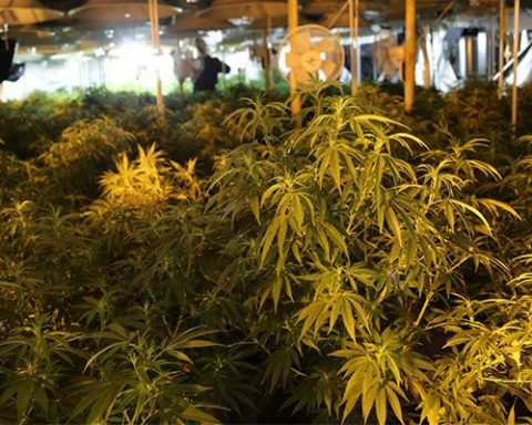 Cannabis plants packed into a Australian grow house