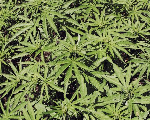 Cannabis crop growing outdoors in the sun