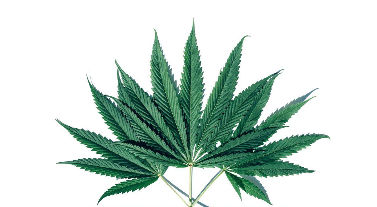 Cannabis plants forming a circle shape