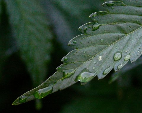 Dark green cannabis leaf with a water droplet