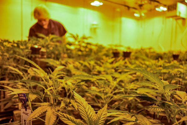 Indoor cannabis is more common cultivation method