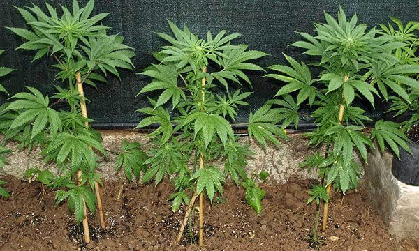 Cannabis growing outdoors