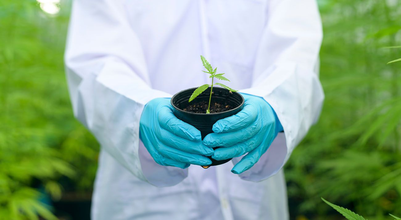 Medicinal cannabis being grown by Australian scientists