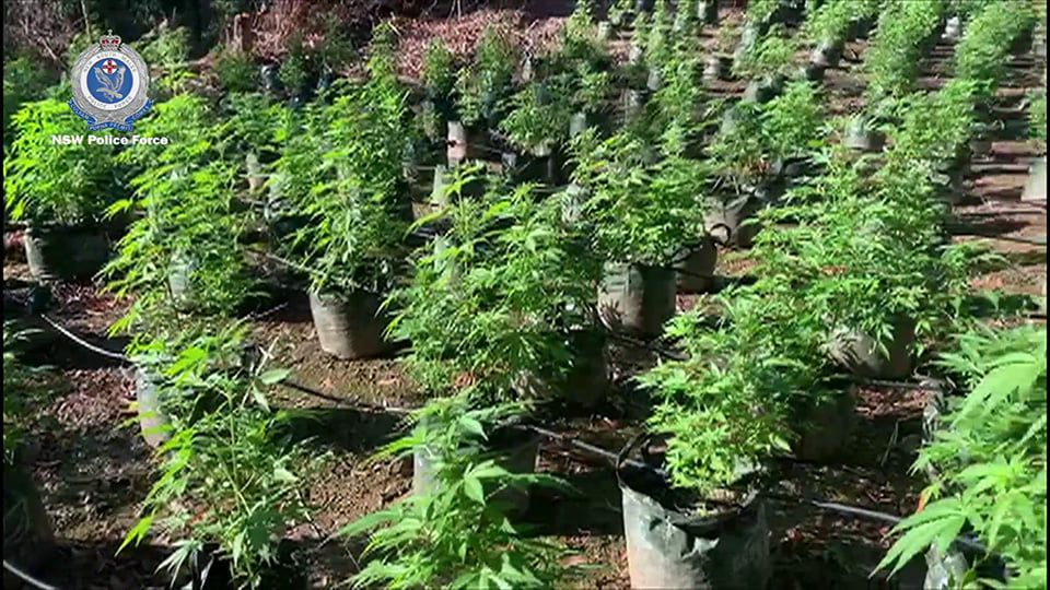 Small cannabis plants growing outdoors in Australia