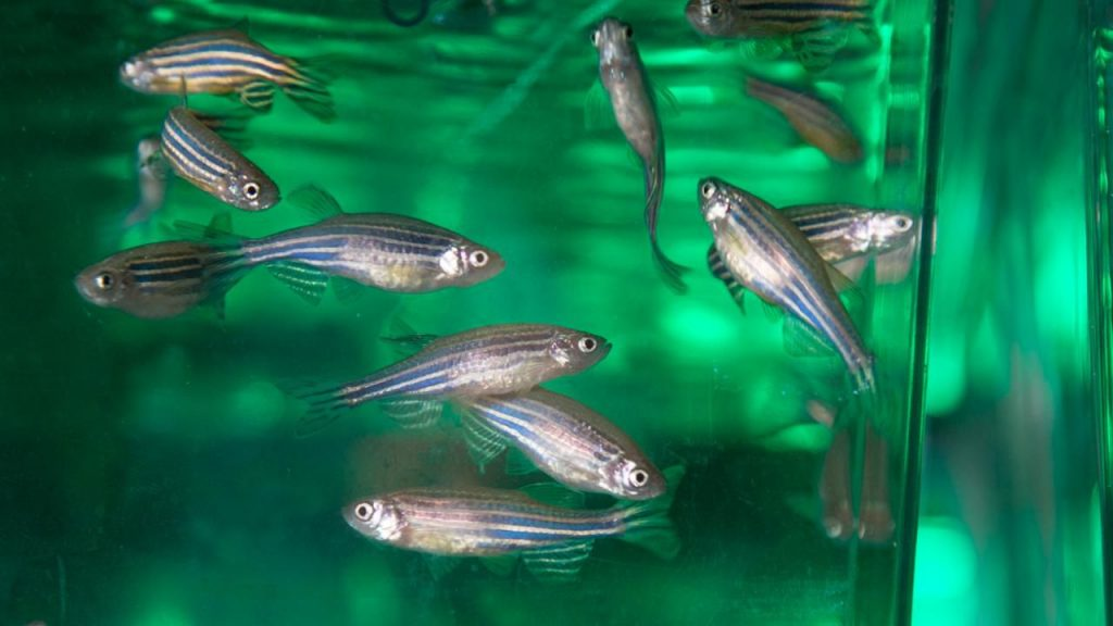 Zebrafish are used in a variety of studies