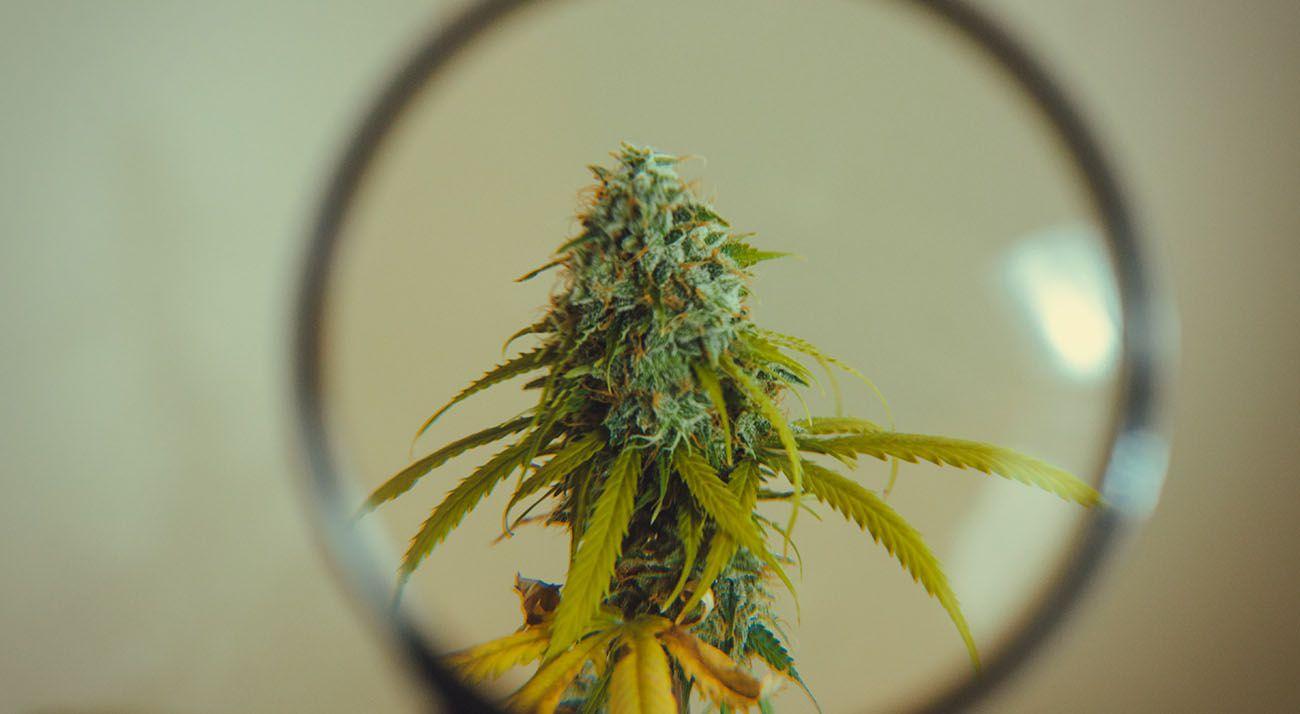 A closer look at medical cannabis
