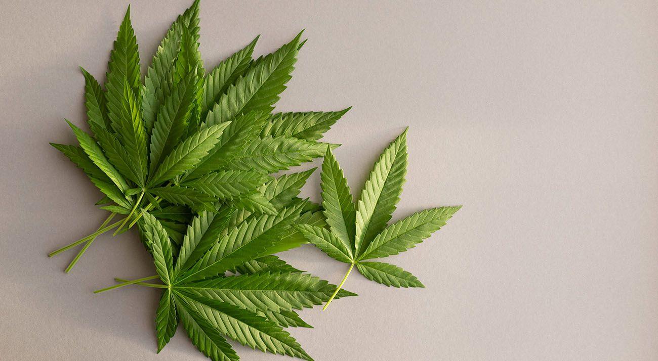 Cannabis on grey background