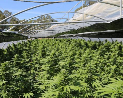 Cannabis seizure in NSW