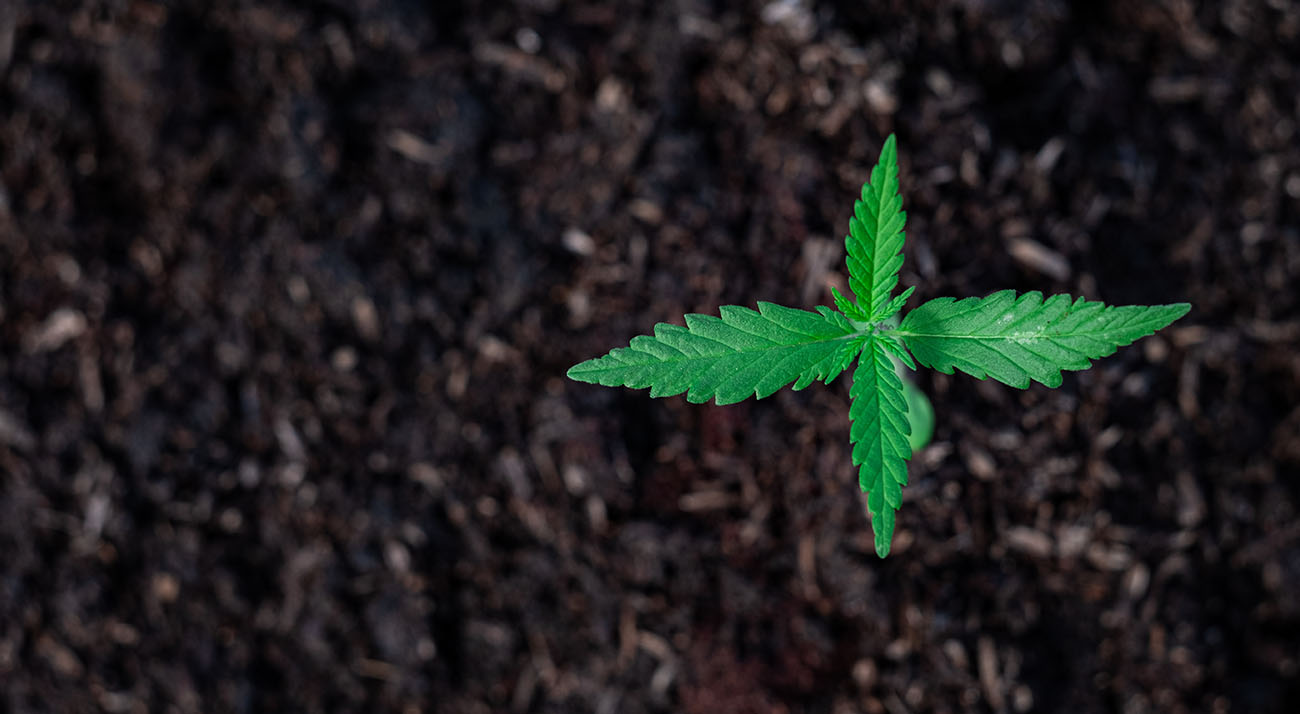 Small cannabis seedling growing