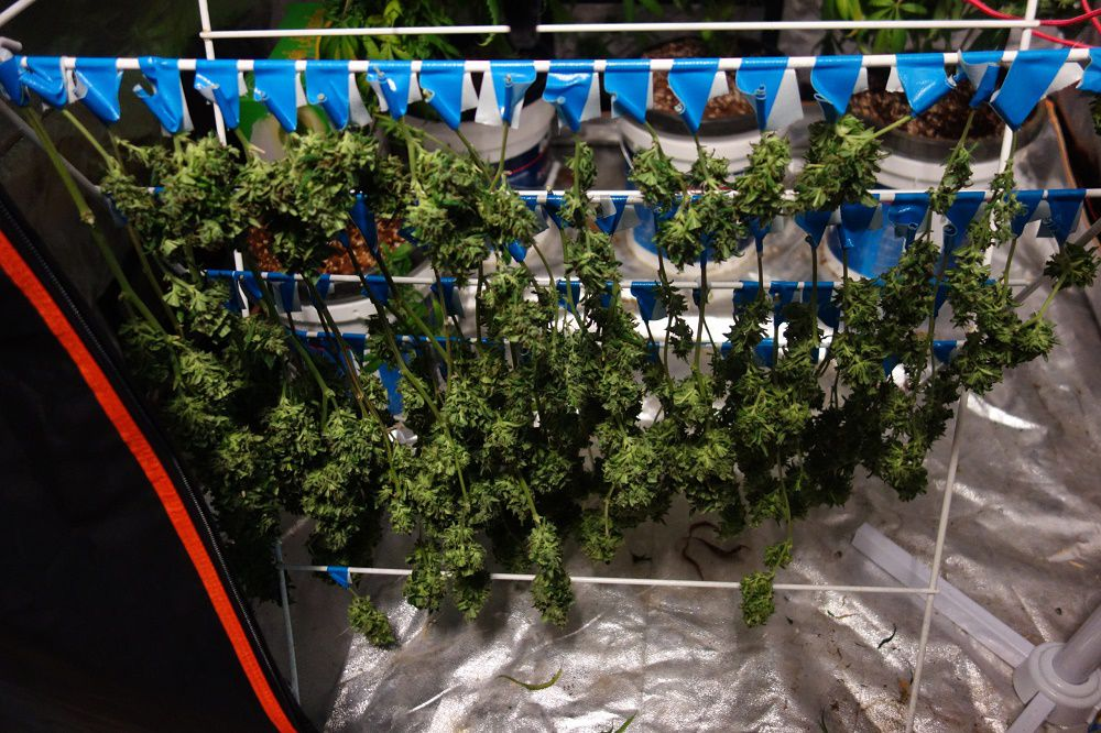 Cannabis drying out