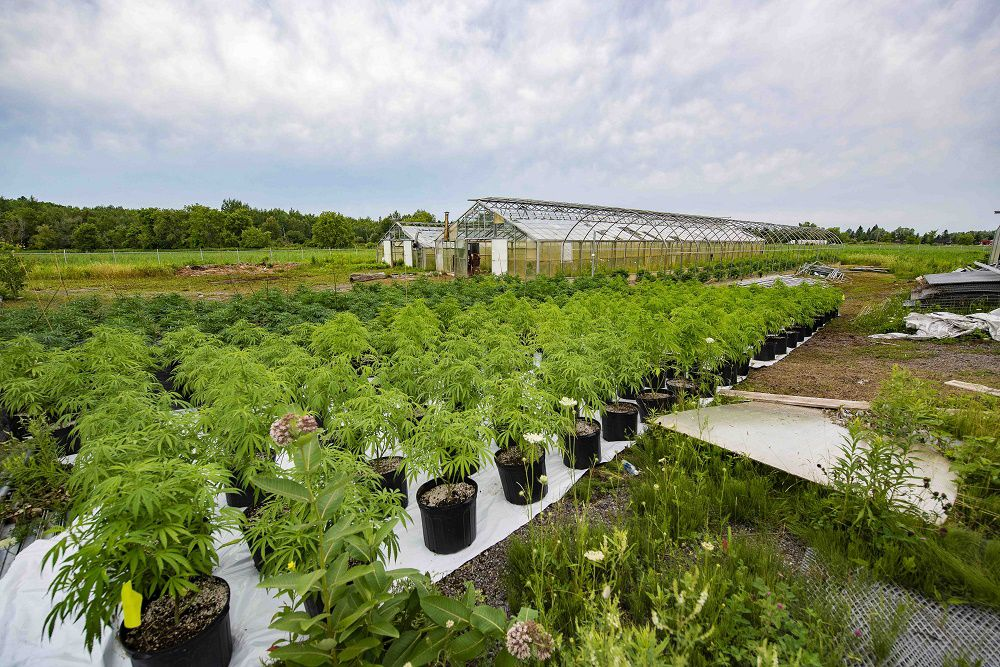 Cannabis growing in small pots on the farm