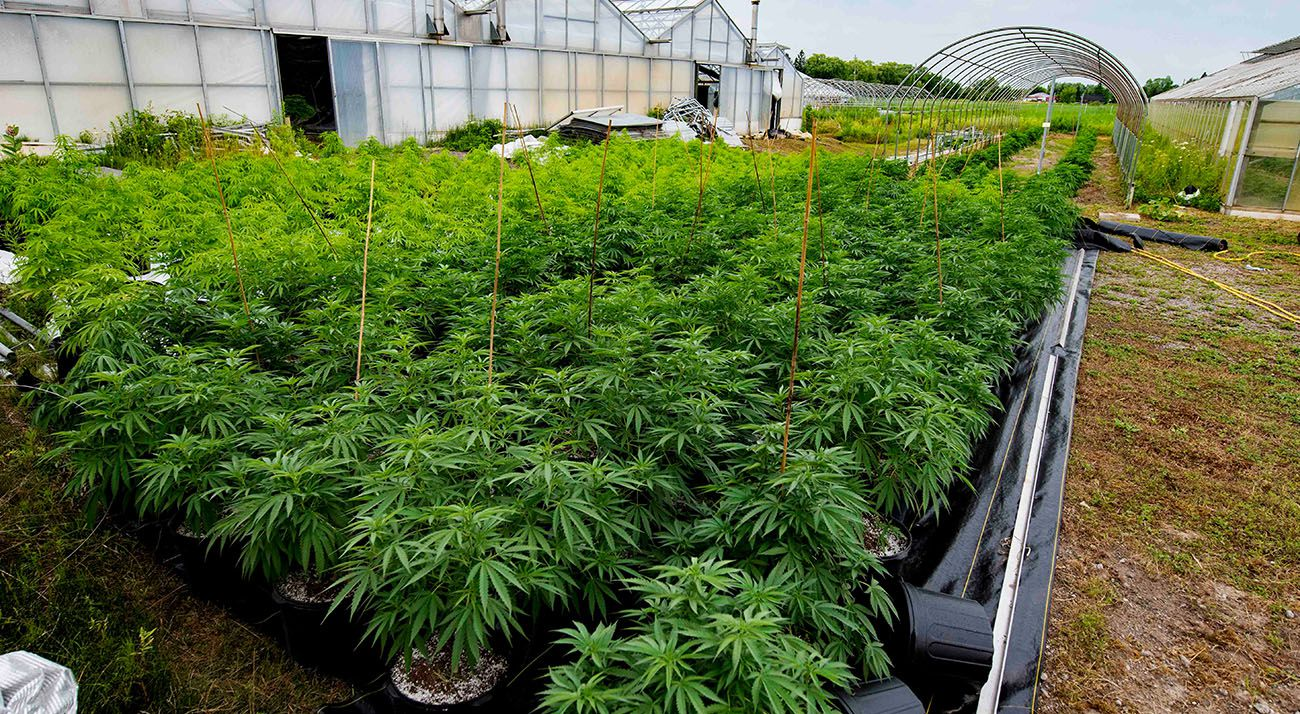 Cannabis growing outdoors in Canada