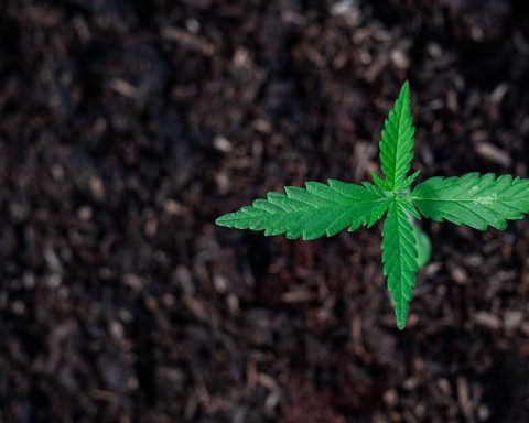Small cannabis plant growing