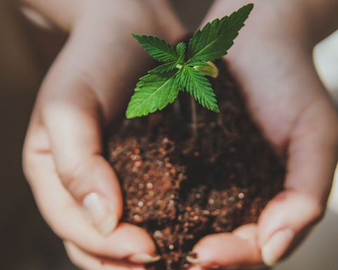 Small cannabis plant growing in hands