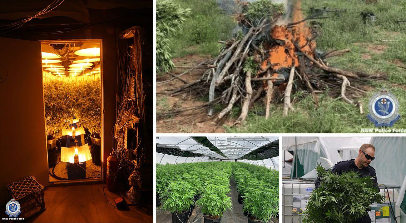 NSW police 2020 cannabis seizures
