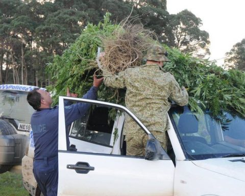 NSW police seizing illegaly grown cannabis