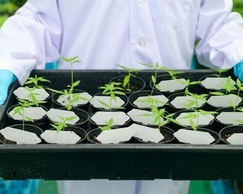 Scientist holding a tray of cannabis plants