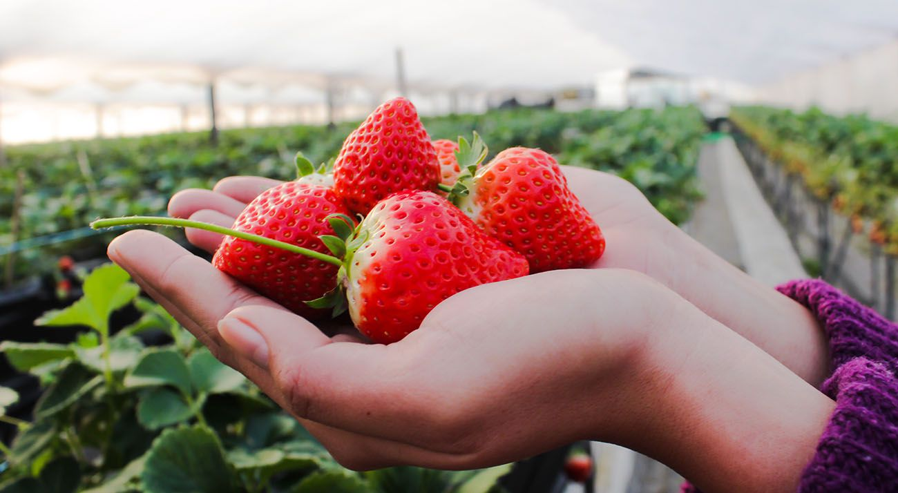 Strawberries held in a hand