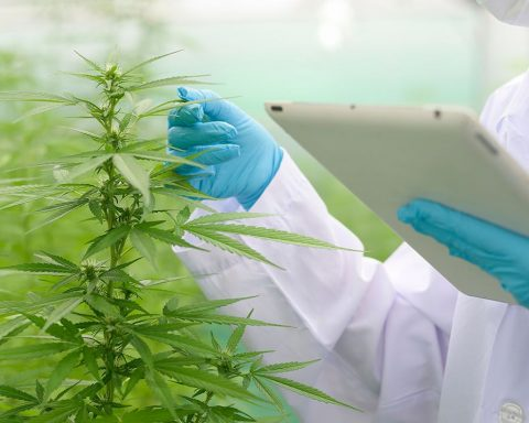 Sydney researchers studying cannabis