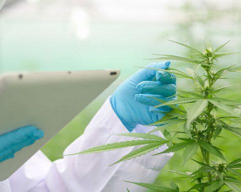 Australian scientist studying cannabis