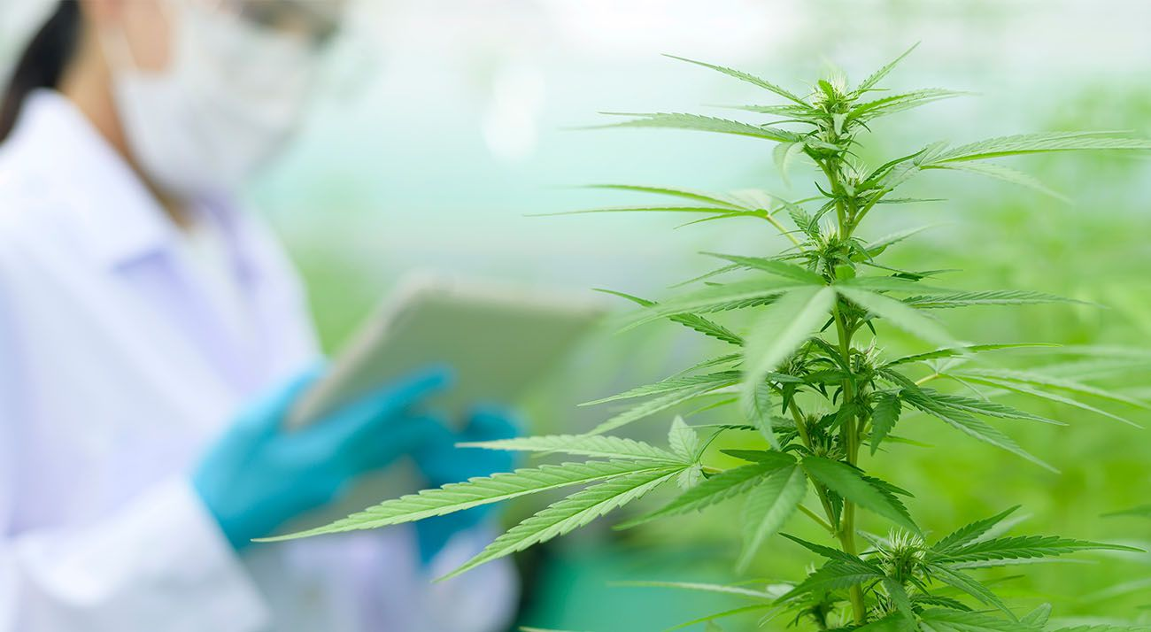 Cannabis plant with scientist in background