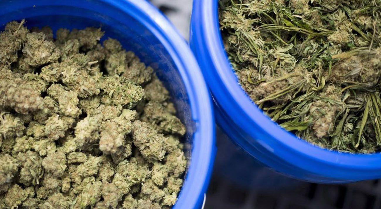 Dried cannabis in blue tubs