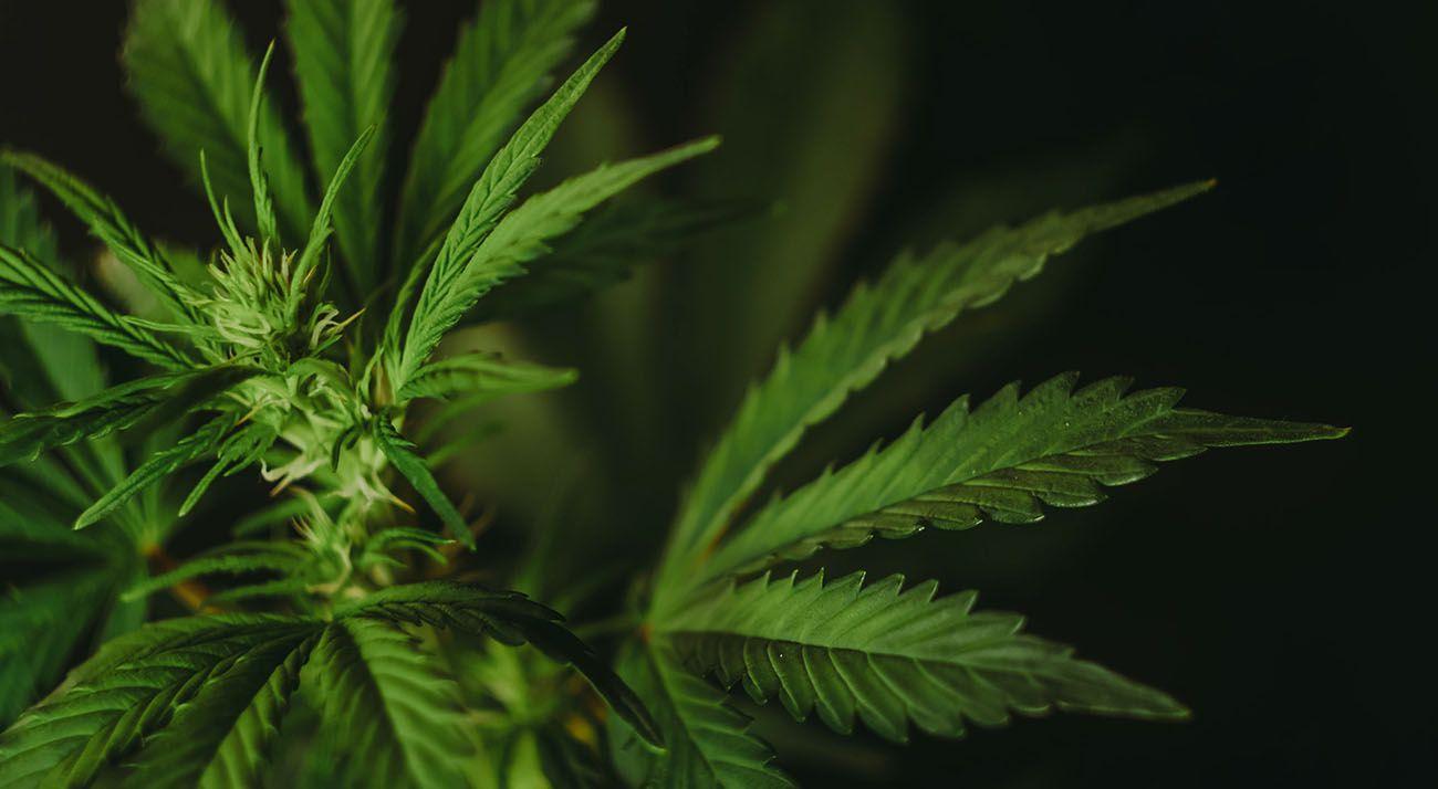 Cannabis on a dark background