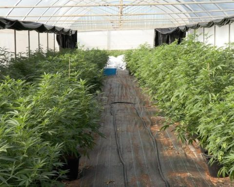 Cannabis plants in a greenhouse in NSW