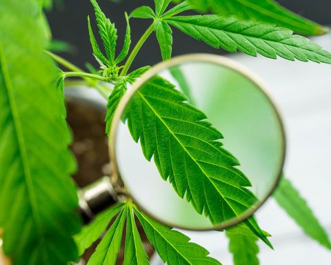 Magnifying glass over cannabis