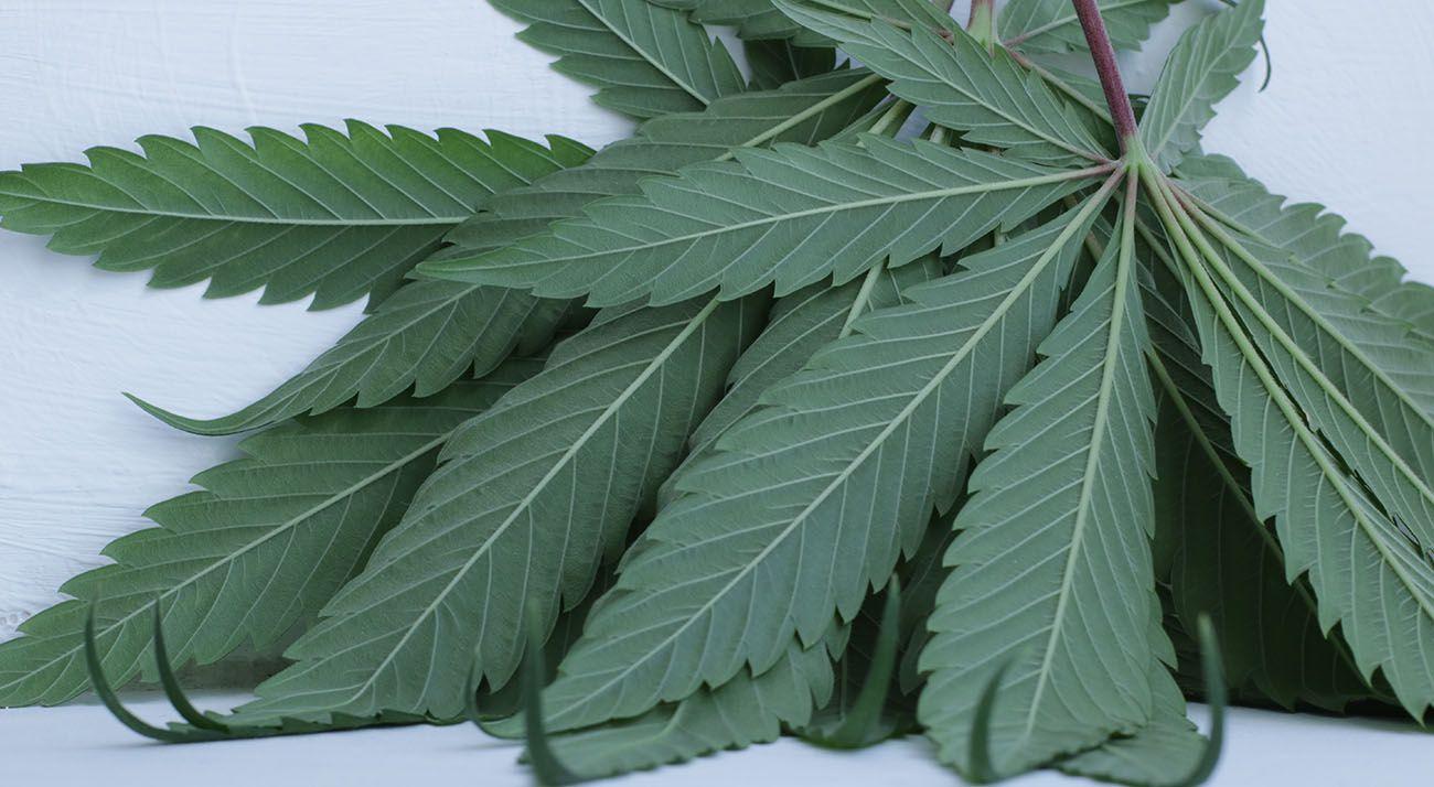 Cannabis leafs up close