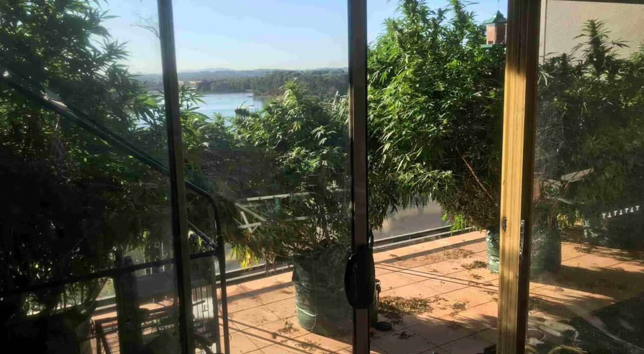 Four cannabis plants on balcony in ACT