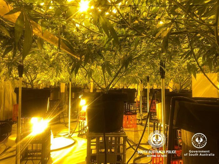 More cannabis plants seized at his home