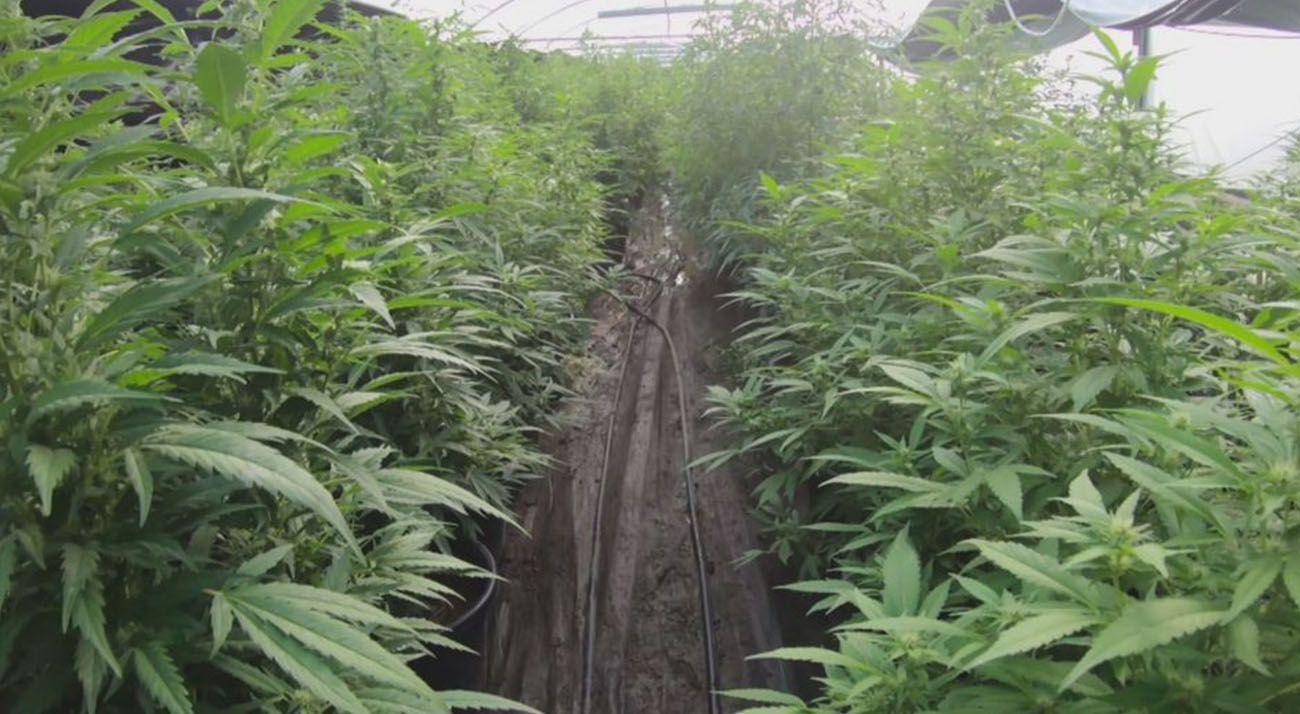 Rows of cannabis in an illegal farm in Australia